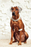 Rhodesian Ridgeback dog dressed like a bride. In front of a flower background Stock Photo
