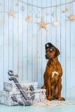 Rhodesian Ridgeback dog dressed like a pirate with its treasures. Rhodesian Ridgeback dog dressed like a pirate sitting with its treasures and an anchor Royalty Free Stock Image