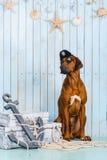 Rhodesian Ridgeback dog dressed like a pirate with its treasures. Rhodesian Ridgeback dog dressed like a pirate sitting with its treasures and an anchor Stock Photo