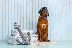 Rhodesian Ridgeback dog dressed like a pirate with its treasures. Rhodesian Ridgeback dog dressed like a pirate sitting with its treasures and an anchor Stock Photography