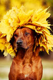 Rhodesian Ridgeback dog dressed in wreath of golden leaves. Rhodesian Ridgeback dog in profile dressed in wreath of golden autumn leaves Stock Images