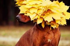 Rhodesian Ridgeback dog dressed in wreath of golden leaves. Rhodesian Ridgeback dog in profile dressed in wreath of golden autumn leaves Stock Image