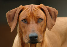 Rhodesian Ridgeback dog head portrait. A beautiful Rhodesian Ridgeback dog hound head portrait with cute expression in the face watching other dogs outdoors Stock Photography