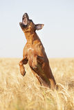 Rhodesian Ridgeback dog jumping Stock Photo