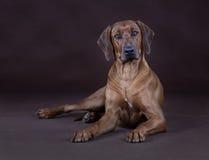 Rhodesian Ridgeback dog. Dog lying down in studio Stock Image