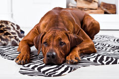 Rhodesian Ridgeback dog lying on a zebra carpet. Watching its master Stock Images