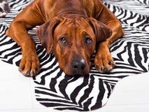 Rhodesian Ridgeback dog lying on a zebra carpet. Watching its master Stock Image