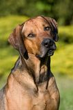 Rhodesian ridgeback dog portrait Stock Photos
