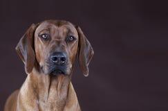 Rhodesian ridgeback dog. Portrait in studio Stock Photos