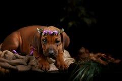 Rhodesian Ridgeback dog resting Stock Photo