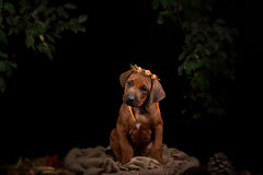 Rhodesian Ridgeback dog resting in front of black Royalty Free Stock Images