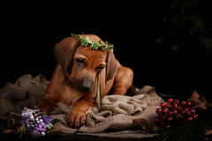 Rhodesian Ridgeback dog resting in front of black Stock Photos