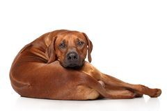 Rhodesian Ridgeback dog. Resting in front of white background royalty free stock photos