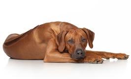 Rhodesian Ridgeback dog. Resting on a white background stock images
