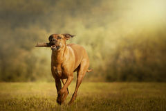 Rhodesian Ridgeback dog Stock Photography