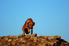 Rhodesian Ridgeback dog on rocks Stock Images