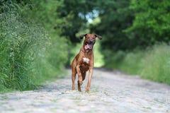 Rhodesian Ridgeback dog run. On rock road in forest Stock Photos