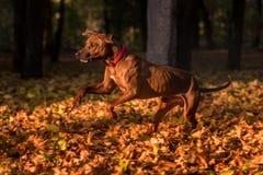 Rhodesian Ridgeback Dog is Running. Royalty Free Stock Photography