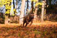 Rhodesian Ridgeback Dog is Running On the Autumn Leaves Ground. Stock Photo
