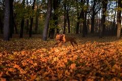 Rhodesian Ridgeback Dog is Running Royalty Free Stock Image