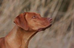 Rhodesian Ridgeback dog. Side portrait of livernose Rhodesian ridgeback dog Royalty Free Stock Photo