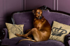Rhodesian Ridgeback dog sitting on a sofa Royalty Free Stock Image