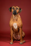 Rhodesian ridgeback dog sitting on the vinous background Royalty Free Stock Photography
