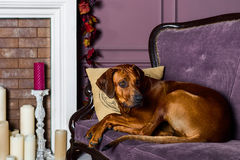 Rhodesian Ridgeback dog on a sofa in front of fireplace. Rhodesian Ridgeback dog lying on a sofa in front of a stylized candle fireplace Royalty Free Stock Photos