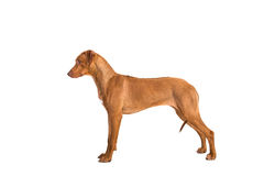 Rhodesian ridgeback dog standing in show position seen from the. Side isolated on a white background royalty free stock photo