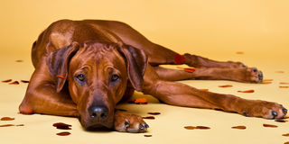 Rhodesian Ridgeback dog strewed with paper hearts confetti. Rhodesian Ridgeback dog strewed with paper hearts lying on a yellow background Royalty Free Stock Photography