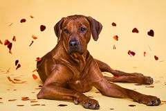 Rhodesian Ridgeback dog strewed with paper hearts confetti. Rhodesian Ridgeback dog strewed with paper hearts lying on a yellow background Stock Photography
