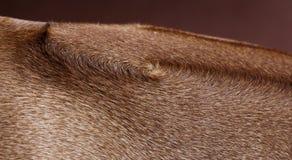 Rhodesian Ridgeback dog. Texture in studio stock images