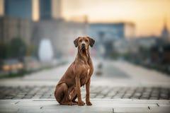 Rhodesian Ridgeback Dog on the wall Stock Photo