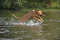 Rhodesian Ridgeback dog in water Royalty Free Stock Photography