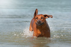 Rhodesian Ridgeback dog in the water Stock Photography