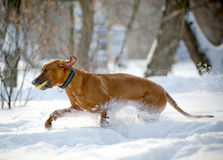 Rhodesian Ridgeback dog Stock Photo