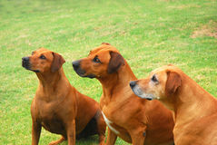 Rhodesian Ridgeback dogs Royalty Free Stock Image