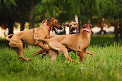 Rhodesian Ridgeback dogs playing in summer Stock Image