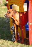 Rhodesian Ridgeback en Dalmatisch puppy Royalty-vrije Stock Foto's