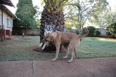 Rhodesian Ridgeback en Husky Enjoying Playtime Together stock foto