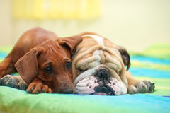 Rhodesian ridgeback and english bulldog on a bed Stock Photos