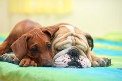 Rhodesian ridgeback and english bulldog on a bed stock photos