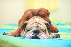 Rhodesian ridgeback and english bulldog on a bed Royalty Free Stock Photography