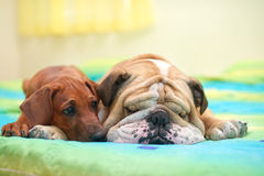 Rhodesian ridgeback and english bulldog on a bed Stock Photography