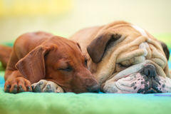 Rhodesian ridgeback and english bulldog on a bed Stock Images