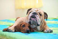 Rhodesian ridgeback and english bulldog on a bed Stock Photo
