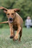 rhodesian ridgeback för hund Fotografering för Bildbyråer