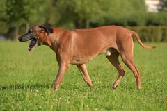 Rhodesian ridgeback för hund för en gå royaltyfria bilder