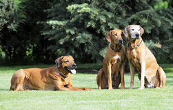 Rhodesian Ridgeback family gang. An adorable african Rhodesian Ridgeback family gang is sitting in the garden. They are happy together and enjoying life. The old Royalty Free Stock Photos
