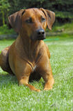 Rhodesian ridgeback female. Portrait of a rhodesian ridgeback lying in the green grass dreaming and looking with very nice expression stock image